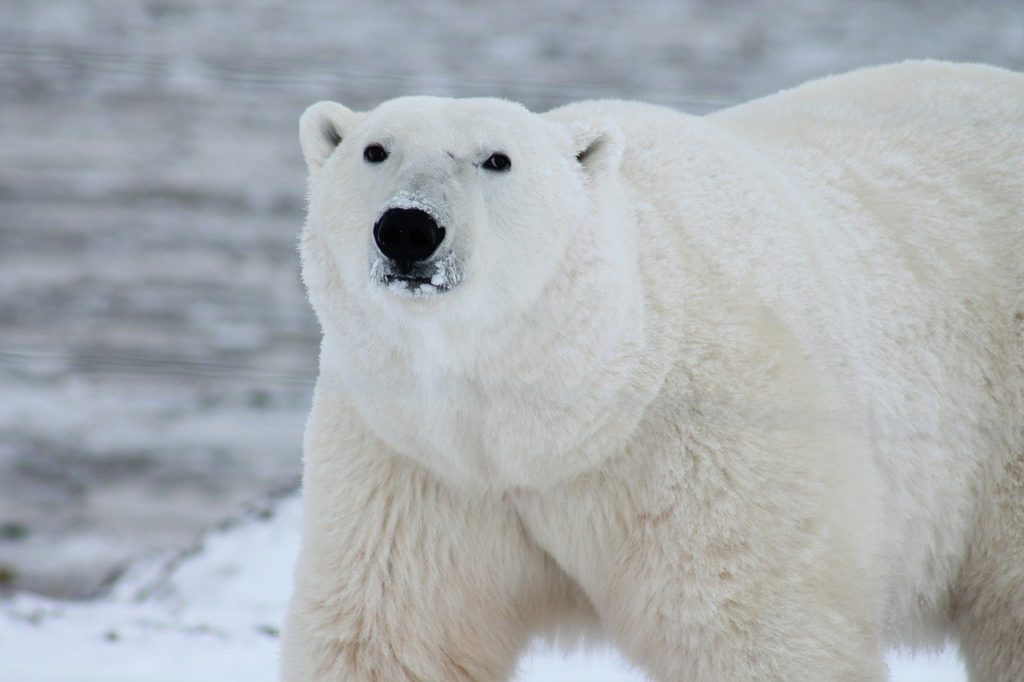 Walk with Polar Bears in Hudson Bay in Northern Manitoba | Outside Suburbia