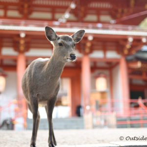 Nara Deer Park - Two week Japan Itinerary - Photo by Outside Suburbia