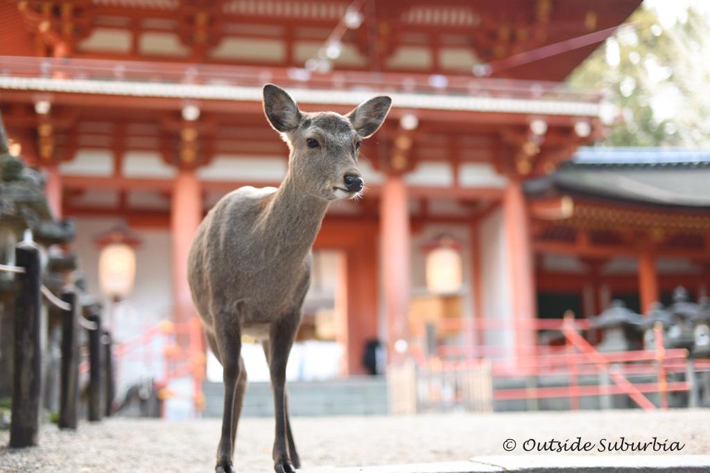 Nara Deer Park - Two week Japan Itinerary - Photo by Outside Suburbia