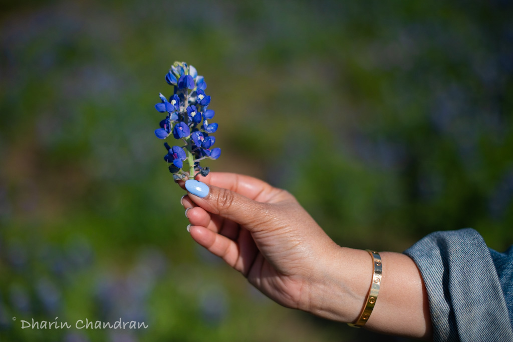 Is it illegal to pick the Texas Bluebonnets?