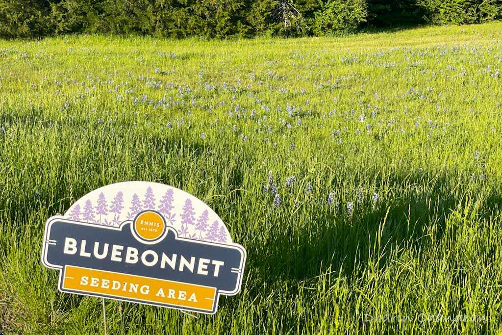 The best time to see the bluebonnet fields in Ennis is mid-April.  2nd or 3rd week is the best time to visit Bluebonnet fields near Ennis.