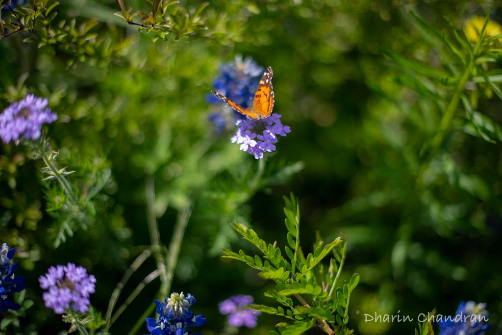 A monarch butterfly & wildflowers in Texas | Outside Suburbia