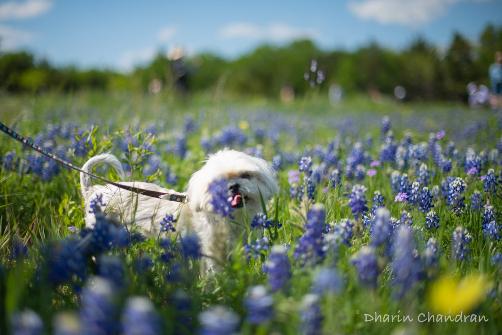 Chasing Wildflowers: Texas Bluebonnet - Ennis Bluebonnet Trail | Outside Suburbia