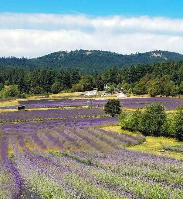 San Juan islands lavender farm | Outside Suburbia