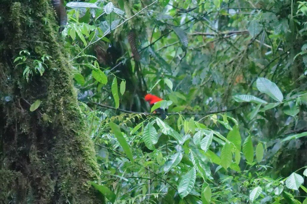 Andean Cock of the Rock an extraordinary red-headed bird in Ecuador | Outside Suburbia
