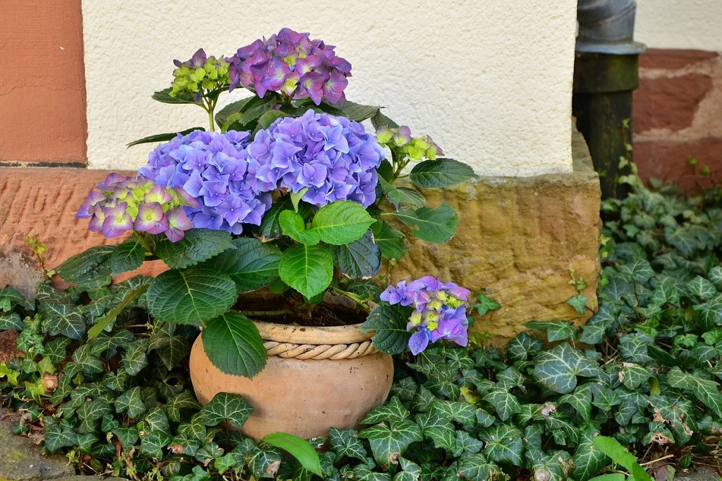 Changing Hydrangea Flower Bloom Color & other Hydrangeas tips   Outside Suburbia