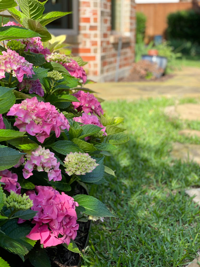 How to keep cut hydrangeas from wilting | Outside Suburbia