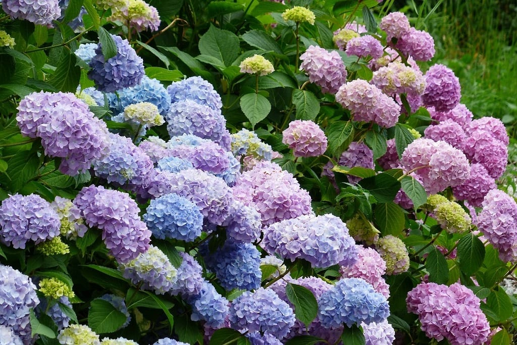 Best Places Around the World to see Hydrangeas   Outside Suburbia