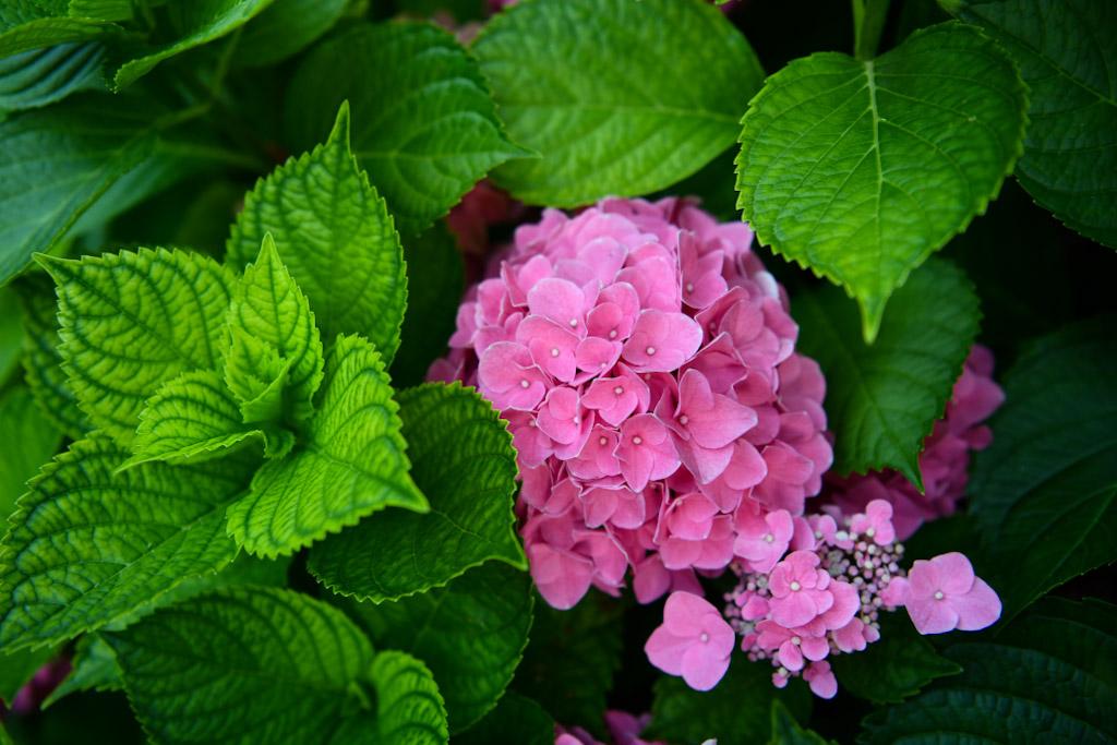 When to prune mophead bigleaf Hydrangeas   Outside Suburbia