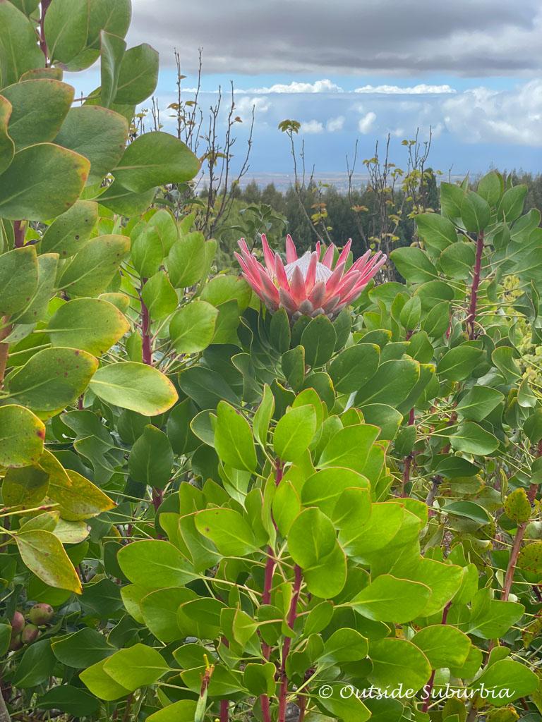 Lavender Farm in Maui | Outside Suburbia