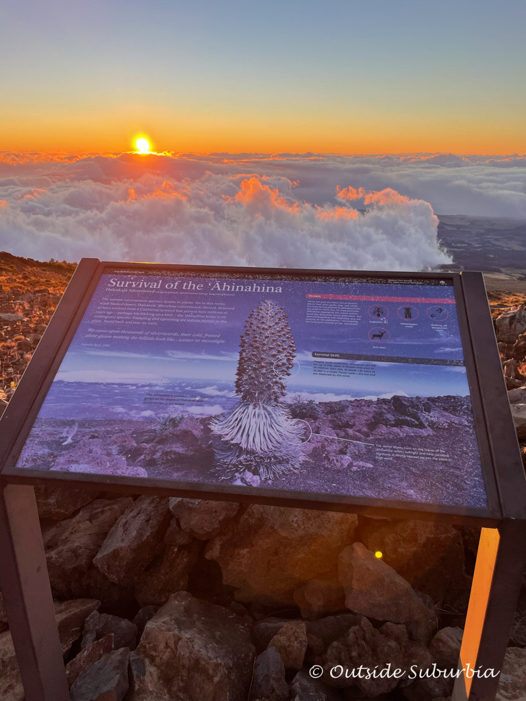 Look out for these endemic Ahinahina (Silversword) plants when you visit Haleakala National Park | Outside Suburbia
